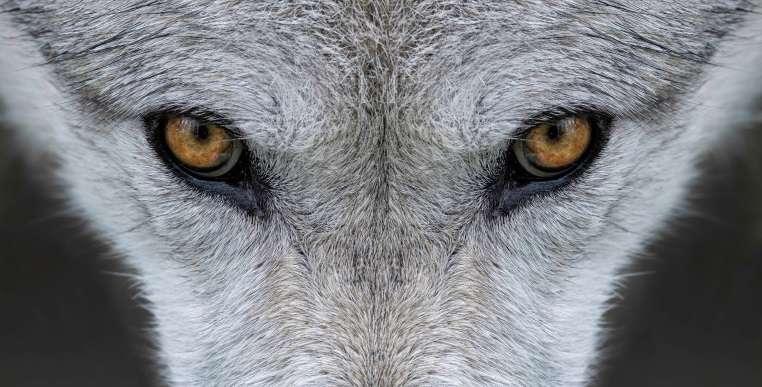 Судьба серого волка в США под вопросом